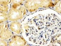 EB06714 (4µg/ml) staining of paraffin embedded Human Kidney. Steamed antigen retrieval with Tris/EDTA buffer pH 9, HRP-staining.