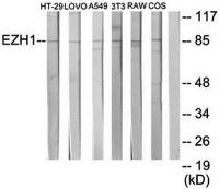 Western blot analysis of extracts from HT-29 cells, LOVO cells, A549 cells, NIH-3T3 cells, RAW264.7 cells and COS-7 cells using EZH1 antibody