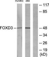 Western blot analysis of extracts from HUVEC cells and 293 cells using FOXD3 antibody